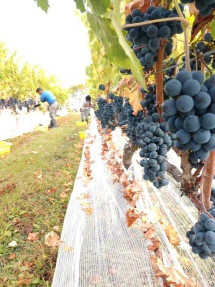 Grapes UV