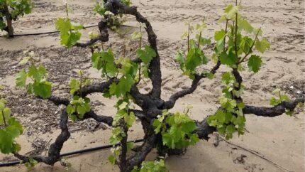100 year vines