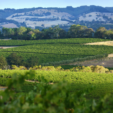 Defining Australia's Old Vines: One Grapevine at a Time