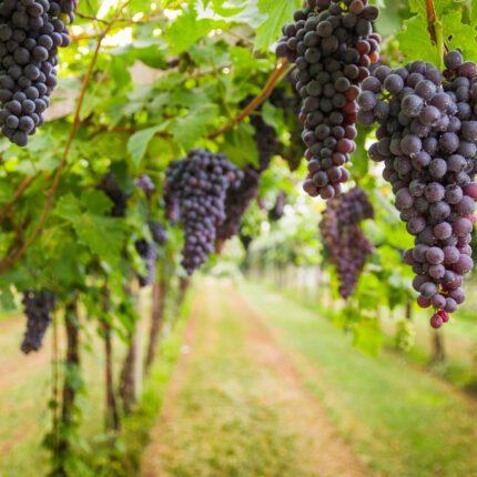 California Regionality of the Zinfandel Grape