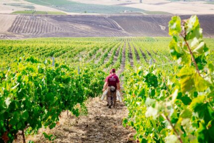 Sicily: A Wine Continent United