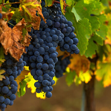 Rediscover Merlot: The Turning Point